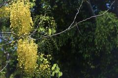 桂皮fistula& x28; 金黄阵雨tree& x29; 主要开花在夏天劳动节 It& x27; 也s泰国的全国花 免版税图库摄影