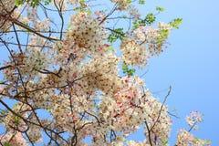 桂皮javanica是黑暗的桃红色豌豆花家庭的一棵四季不断的植物  医药花是当地的对印度尼西亚 图库摄影