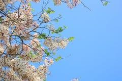 桂皮javanica是黑暗的桃红色豌豆花家庭的一棵四季不断的植物  医药花是当地的对印度尼西亚 免版税库存图片
