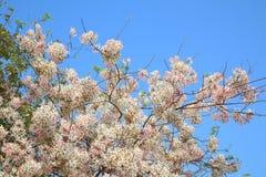 桂皮javanica是黑暗的桃红色豌豆花家庭的一棵四季不断的植物  医药花是当地的对印度尼西亚 免版税库存照片