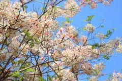 桂皮javanica是黑暗的桃红色豌豆花家庭的一棵四季不断的植物  医药花是当地的对印度尼西亚 免版税图库摄影