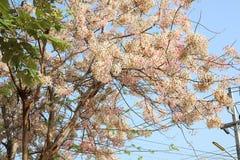桂皮javanica是黑暗的桃红色豌豆花家庭的一棵四季不断的植物  医药花是当地的对印度尼西亚 库存照片