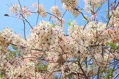 桂皮javanica是黑暗的桃红色豌豆花家庭的一棵四季不断的植物  医药花是当地的对印度尼西亚 库存图片
