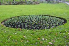 桂竹香植物一张圆的床在为准备春天开花的11月 图库摄影