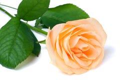 桃子上升了与在白色背景的叶子 免版税库存图片
