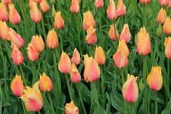 桃子俏丽的背景和桃红色郁金香在后院从事园艺 免版税库存照片