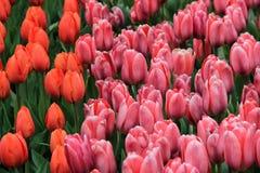 桃子俏丽的背景和桃红色郁金香在后院从事园艺 库存照片