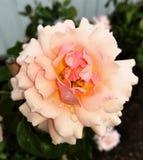 桃子和桔子上升了开花 图库摄影