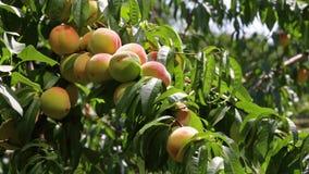 桃子在树增长 股票录像