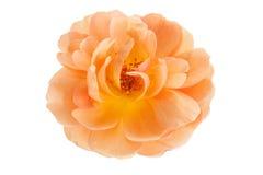桃子在白色隔绝的野生罗斯 免版税库存照片