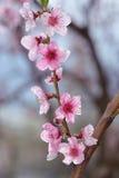 桃子在被弄脏的绿叶的开花特写镜头 免版税库存图片