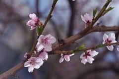 桃子在被弄脏的绿叶的开花特写镜头 免版税图库摄影
