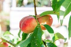 桃子庭院 夏天庭院果子 桃子成熟结构树 桃子收获  红色桃子在庭院里在一个晴天 增殖比 免版税库存照片