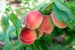 桃子庭院 夏天庭院果子 桃子成熟结构树 桃子收获  红色桃子在庭院里在一个晴天 增殖比 库存图片