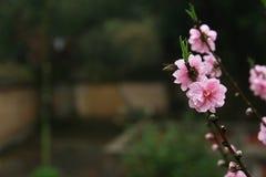 桃子开花和蜂 免版税库存照片