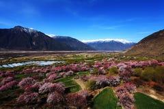 桃子开花和雪加盖的山 免版税库存照片