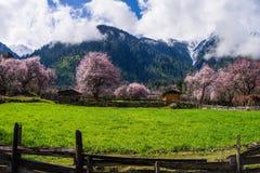 桃子开花和高地大麦在西藏村庄调遣 库存图片