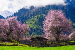 桃子开花和高地大麦在西藏村庄调遣 免版税库存图片