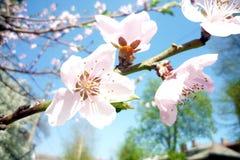 桃子开花在春天在一个晴天 免版税库存图片