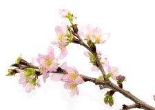 桃子开花在白色背景中 免版税库存照片