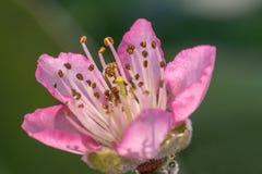 桃子开花在绽放的flower.apricot结构树分行 免版税库存照片
