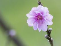 桃子开花在绽放的flower.apricot结构树分行 免版税库存图片