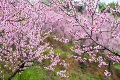 桃子开花在moutainous区域 免版税库存图片