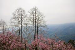 桃子开花在moutainous区域 库存图片