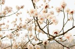 桃子开花山坡 图库摄影