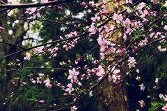 桃子开花扁桃属persica L 免版税图库摄影