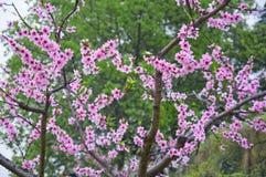 桃子开花是精采红色 库存图片