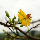 桃子开花黄色花与雨水滴的  免版税库存图片