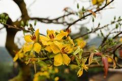 桃子开花黄色花在一棵树的与雨水滴  免版税库存图片