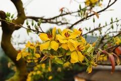 桃子开花黄色花在一棵树的与雨水滴  库存照片