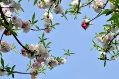 桃子开花,西湖,杭州,中国 库存图片