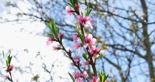 桃子开花 在树的桃红色开花 E 股票视频