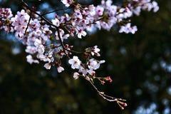 桃子开花 免版税库存照片