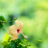 桃子木槿在绿色的头状花序弄脏了背景, 库存图片