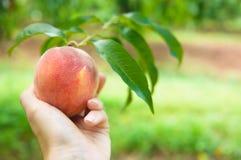 桃子果树园11 图库摄影