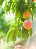 桃子果树园12 免版税库存照片