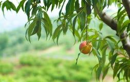 桃子果树园17 库存图片