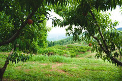桃子果树园19 库存照片