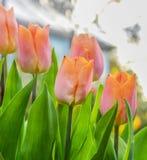 桃子桃红色郁金香发光在阳光下 免版税图库摄影