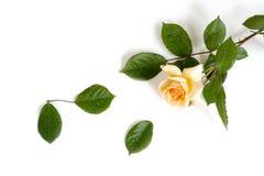 桃子玫瑰在白色背景的抛光秀丽 库存图片