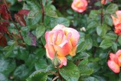 桃子玫瑰 库存图片