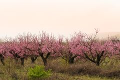 桃子绽放庭院视图背景 库存照片