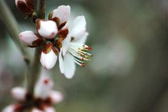 桃子花开花 库存照片