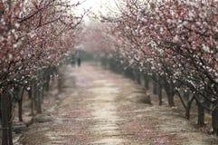 桃子花森林 库存照片