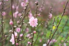 桃子花, ViPetnamese月球新年的标志 在几乎每个家庭, Tet的关键的购买包括桃子hoa 库存图片
