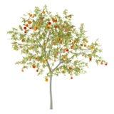 桃树用在白色隔绝的桃子 图库摄影